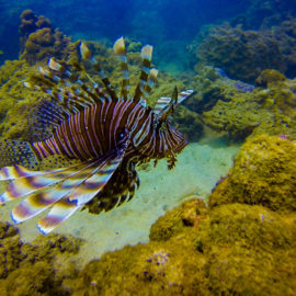 lion-fish-thailand-underwater-uw-photo